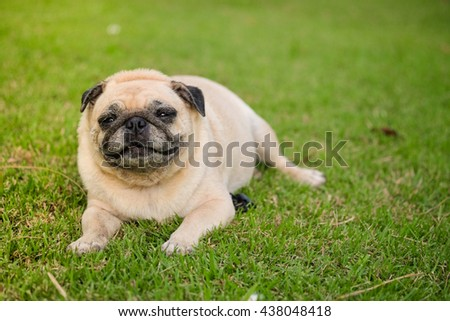 Fawn pug dog lying on grass field .