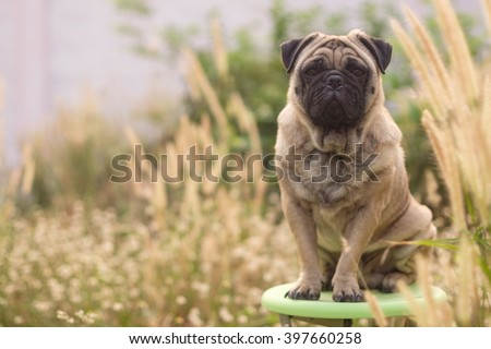 Fawn pug dog sitting on green chair in flower glass with morning sunlight.