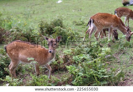 fawns and Roe deer grazing in the mountains - stock photo