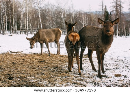 Fawns, young red brown deer and mother in winter - stock photo