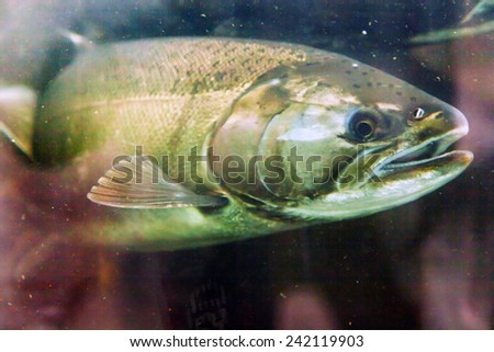 Chinook salmon stock images royalty free images vectors for Big fish issaquah