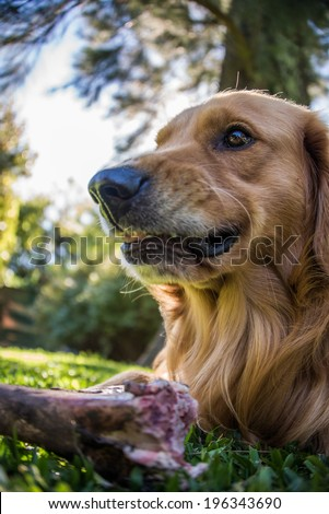 Fearless Dog, dangerous eating a Bone. Golden Retriever. Mad and scary. - stock photo