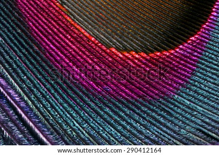 Feather bring it together in a beautiful pattern,Multi colored peacock feathers,Closeup peacock feathers ,background texture, abstract - stock photo
