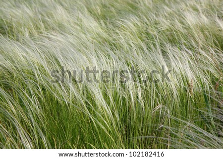 Feather-grass in a steppe