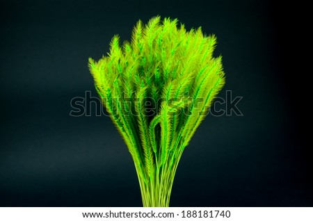 Feather Grass or Needle Grass, Nassella tenuissima isolated on black - stock photo