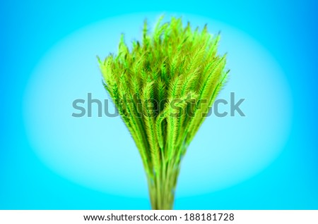 Feather Grass or Needle Grass, Nassella tenuissima isolated on blue - stock photo