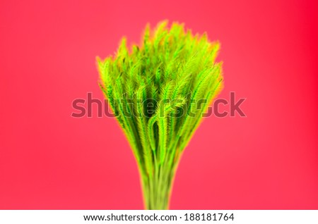 Feather Grass or Needle Grass, Nassella tenuissima isolated on red - stock photo