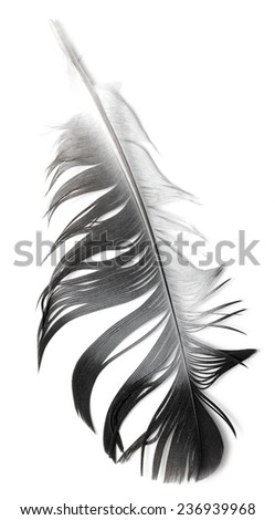 Feather isolated on the white background - stock photo