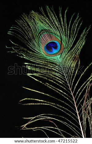 Feather of a peacock on a black background - stock photo