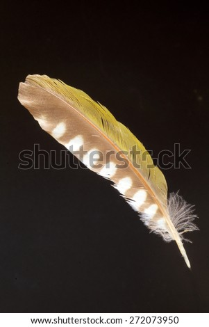 feather of Japanese Green Woodpecker (Picus awokera) - stock photo