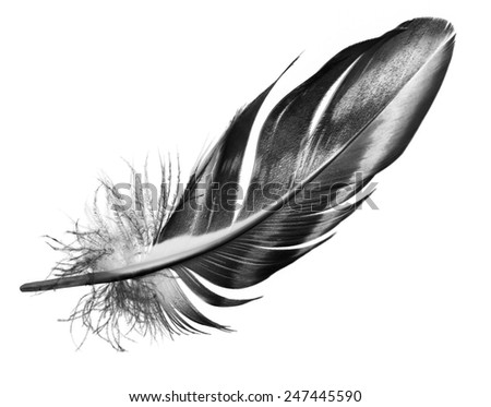 feather on a white background - stock photo