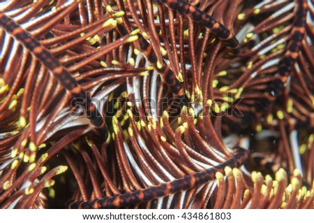 Feather star (Crinoid) _Sea lily