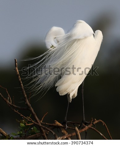 Feathers fly in the wind of a great white egret in Florida - stock photo