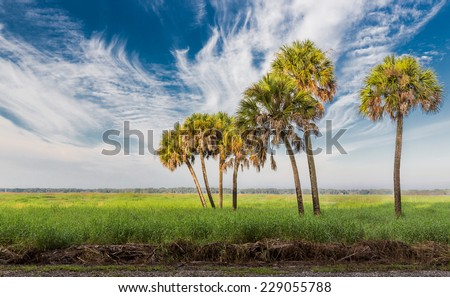 Feathery clouds surround tall palm trees in Florida - stock photo