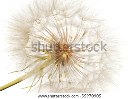 feathery seeds of the dandelion on stalk else
