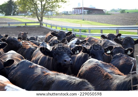 Feed lot full of black cows - stock photo