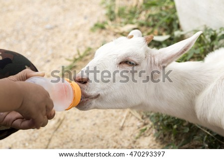 Feeder lambs fed milk from a bottle.lamb,