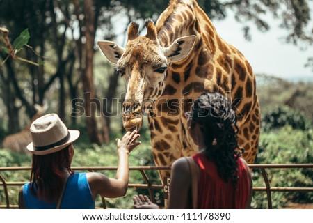 Feeding a giraffe in National park Nairobi, Kenya  - stock photo