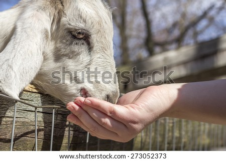 Feeding a small goat at a petting zoo in early spring