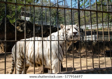 Feeding a tiger in a cage