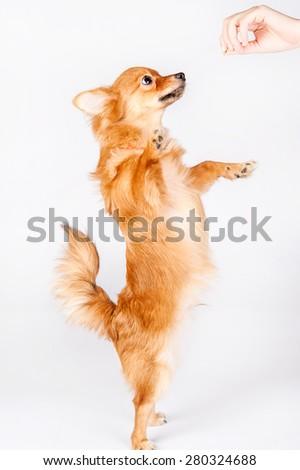 feeding dog on white background - stock photo