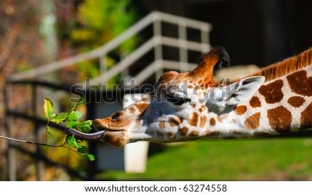 Feeding Giraffes at the zoo - stock photo