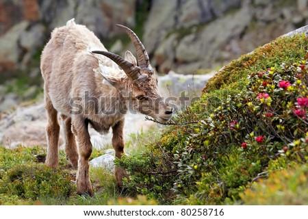 Feeding Ibex portrait - stock photo