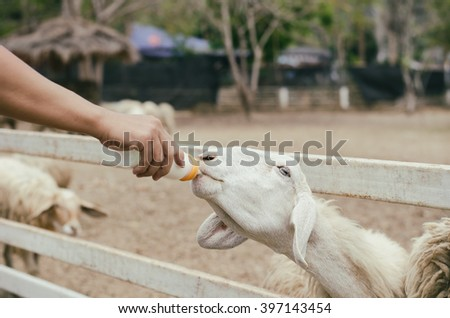 Feeding milk to sheep in the farm