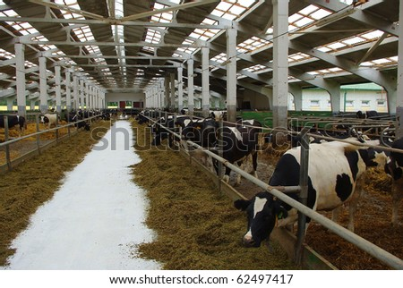 Feeding of cows on a farm in Belarus - stock photo