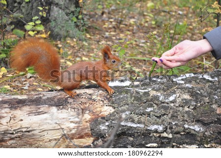 Feeding of the squirrel from a hand. - stock photo