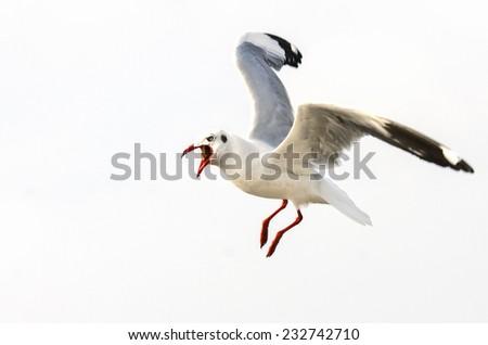 Feeding seagulls in the air - stock photo
