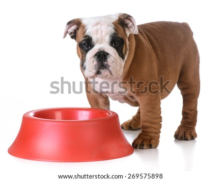 feeding the dog - bulldog puppy standing at dog bowl waiting to be fed - stock photo