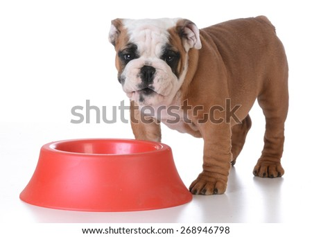 feeding the puppy - english bulldog standing beside red food bowl with happy expression - stock photo