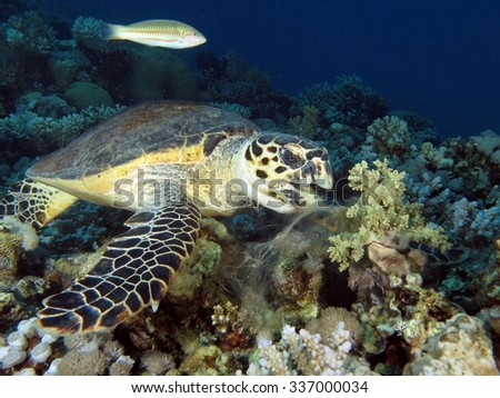 Feeding time for this female hawksbill turtle - stock photo