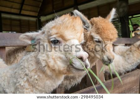 Feeding to Alpaca - stock photo