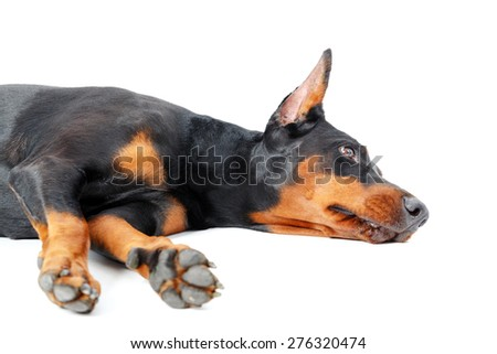 Feeling depressed. Dobermann pinscher lying on white isolated background with depressed look. - stock photo