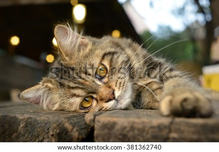 feeling of baby maine coon cat in the golden light sunshine - stock photo