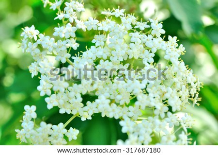 Feesh holunder flowers, green leavs in background. - stock photo