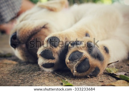Feet of labrador puppy dog
