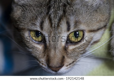 Feline, Adorable common cat hair tabby - stock photo