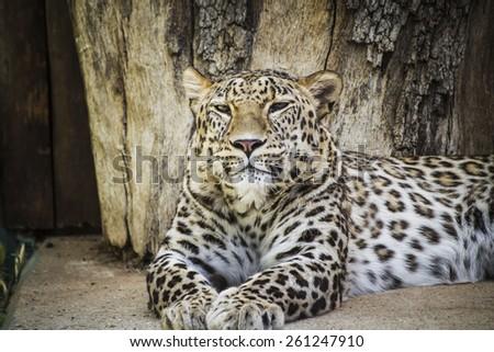 Feline, Powerful leopard resting, wildlife mammal with spot skin - stock photo