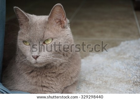 Felis Catus (cat) with fierce stare