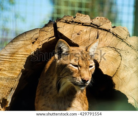 Felis lynx, Lynx lynx, Eurasian Lynx - stock photo