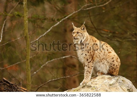 Felis lynx, Lynx lynx, Eurasian Lynx, South Germany, Bavarian National Park - stock photo
