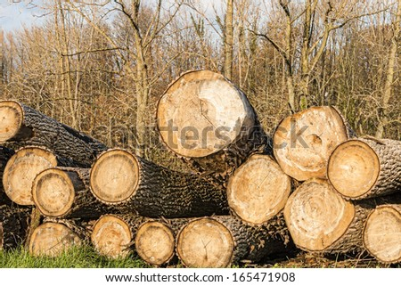 felled timber tree trunks in the flanders forest autumn - stock photo