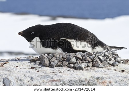 female Adelie penguin incubate in the nest on the cliff top - stock photo