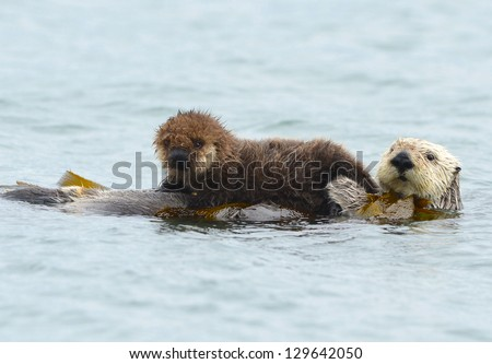female adult sea otter with infant / baby in the kelp on a cold rainy day in big sur, california, usa