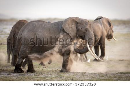 Female African Elephant dust bathing, Amboseli, Kenya - stock photo