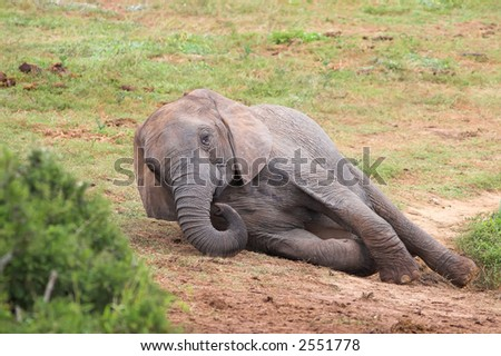 Female African Elephant lying down to rest - stock photo