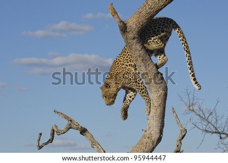Female African Leopard (Panthera pardus) climbing down a tree in South Africa
